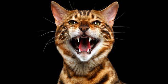 bengal cat behavior problems