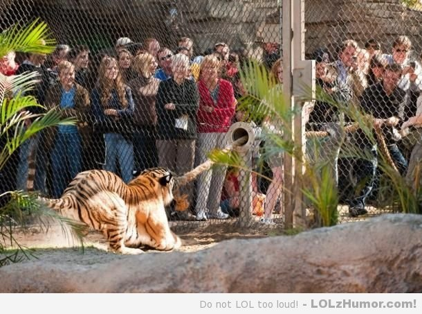 Funny Memes Tiger tug o war Zoo gives visitors the chance to test