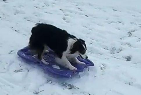 sleddingdog png