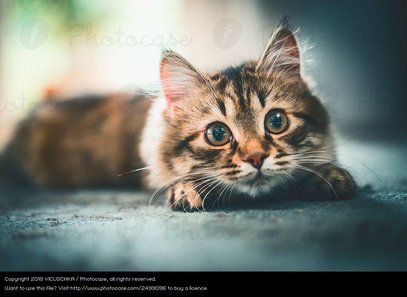 cat animal joy funny emotions playing living or residing photocase stock photo large