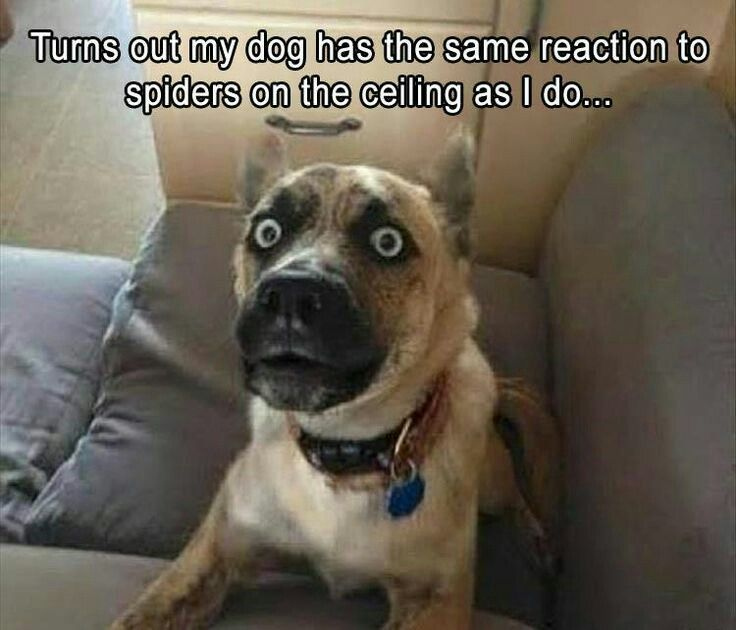 Spider on the ceiling Funny Dogs Funny Memes For Kids Funny Pet Quotes