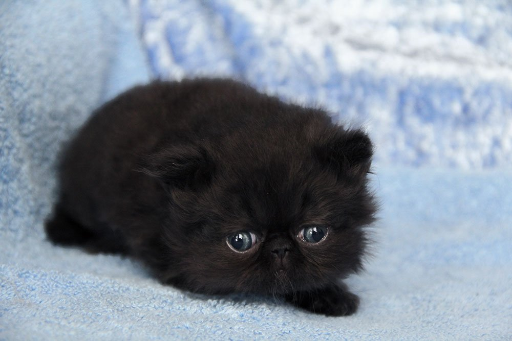 Innocent Black Himalayan Cat Baby