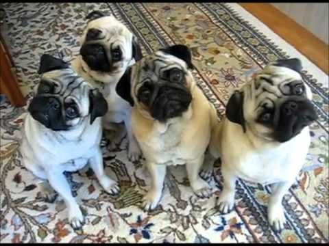 4 Pugs Doing Head Tilts Way Too Funny Our youngest son Chase LOVES pugs