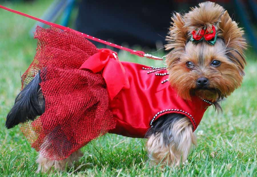 Yorkshire Terrier Funny Dogs Funny Animals Yorkies Chihuahuas Cute Dogs Breeds