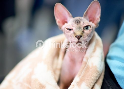 funny sphynx cat squints one eye Stock