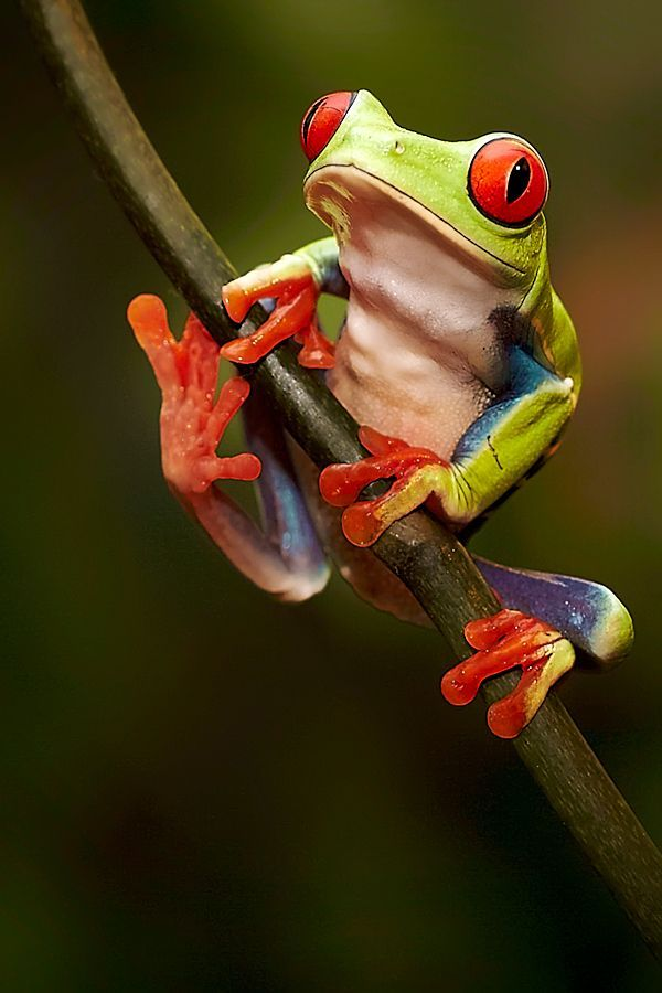 The red eyed tree frog is native to Latin America and like the coqui frog is also brought to Madagascar