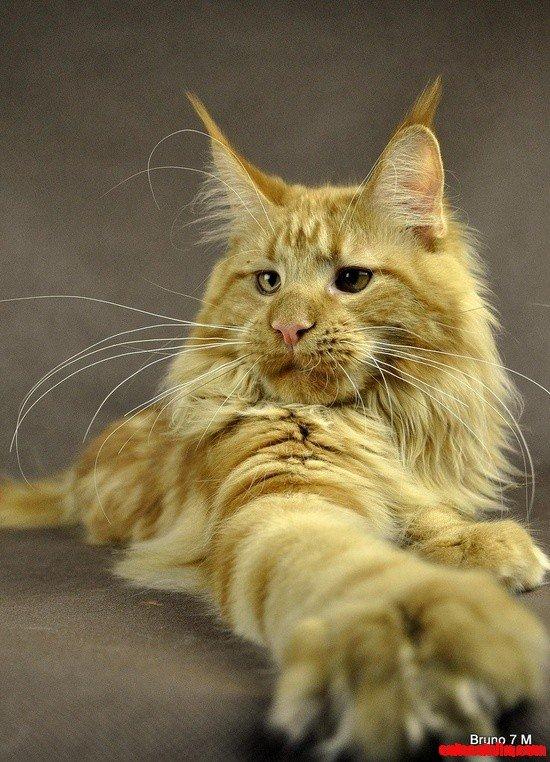 Bruno – Maine Coon cat