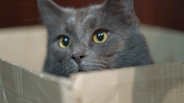 Funny Cat Face In A Box Gray Cat Hiding In Box Looking Out With Eyes Wide Open Stock Video & More Clips of Animal