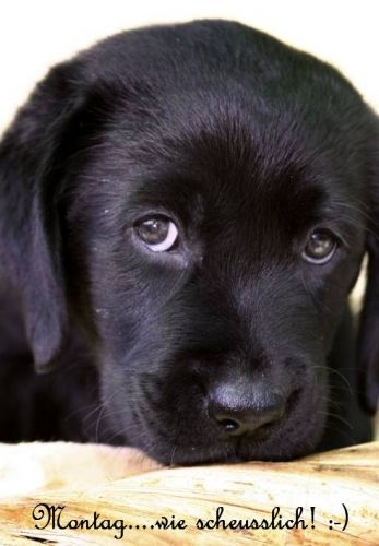 Beautiful Dogs Animals Beautiful Cute Animals Black Lab Puppies Dogs And Puppies