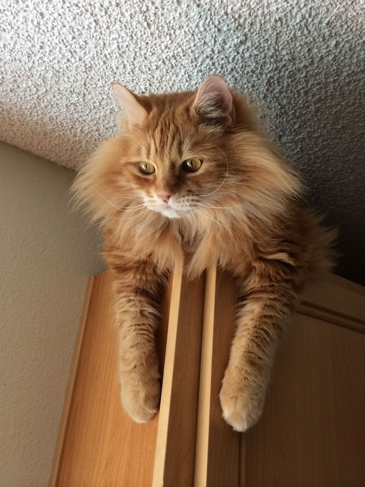 10 Reasons Why You Should Never Own Maine Coon Cats Cats Cabinets Galleries Orange Cat Kitty Cat Cuti Cat Lion King Funny Animal Animal Cat