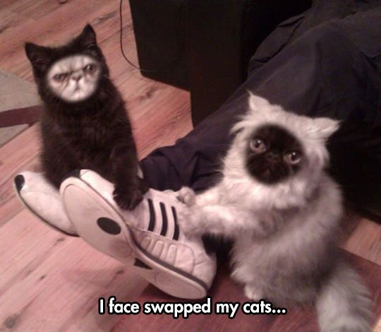 funny face swap cats black white