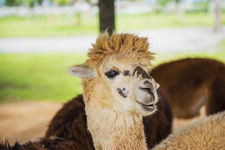 Funny Alpaca living in the farm Thailand Stock