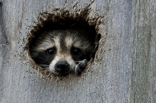 Shy raccoons are adorable
