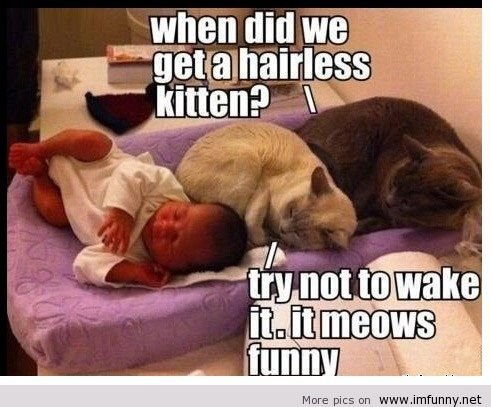 funny cats meme photo picture when did we a hairless kitten it meows funny