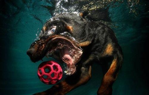 rottweiler underwater shot Funny Animals Cute Animals Dog graphy Wildlife graphy