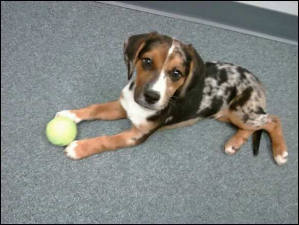 My Catahoula Beagle Mix love him