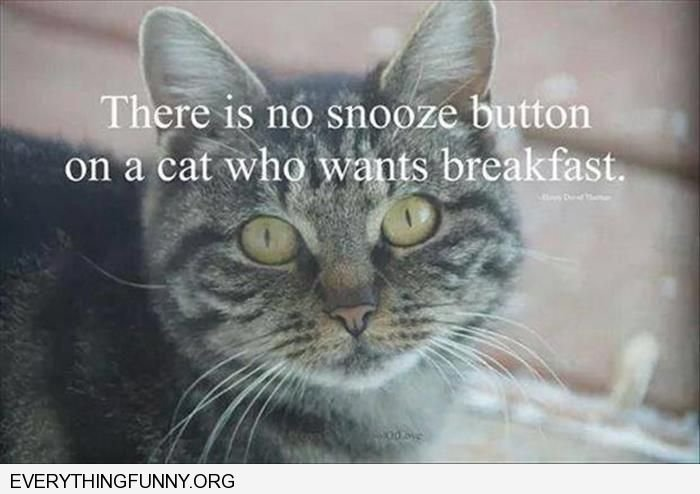 funny cat picture quote there is no snooze button on a cat that is hungry