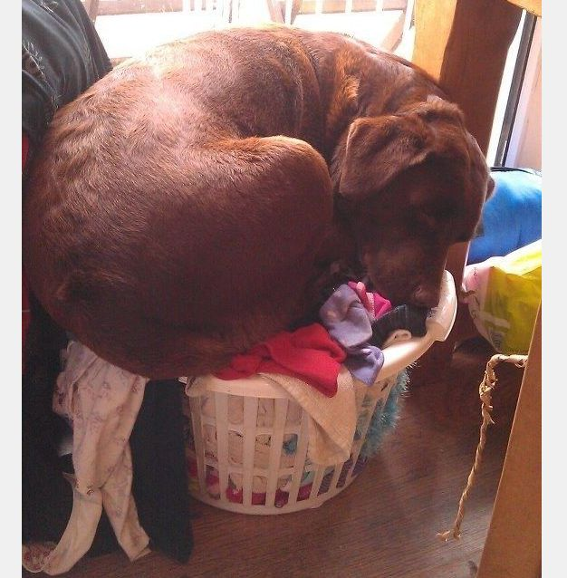 This puppy won t let ting too big for the laundry basket stop him