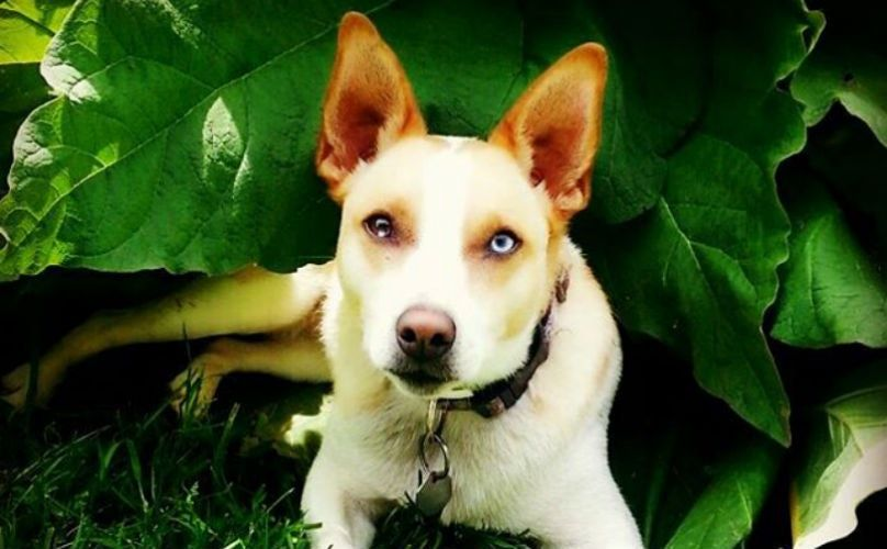 Science Explains The Mythical Look Dogs With Two Different Eye Colors