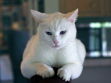 Portrait of white cat in kitchen