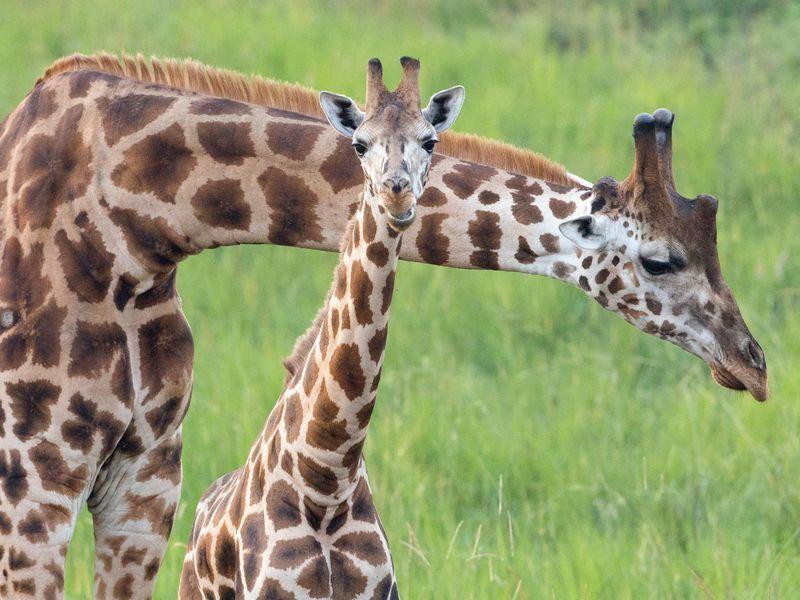 Rothschild s giraffes