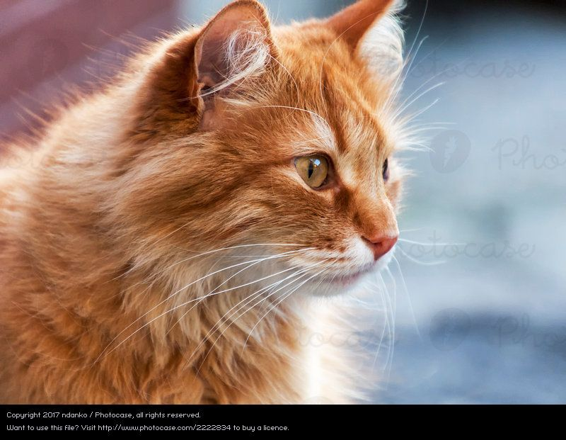 portrait of a red cat cat nature red animal joy funny cute photocase stock photo large
