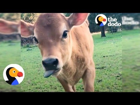 Funny Baby Cow Goofs f Until Mom Shows Up
