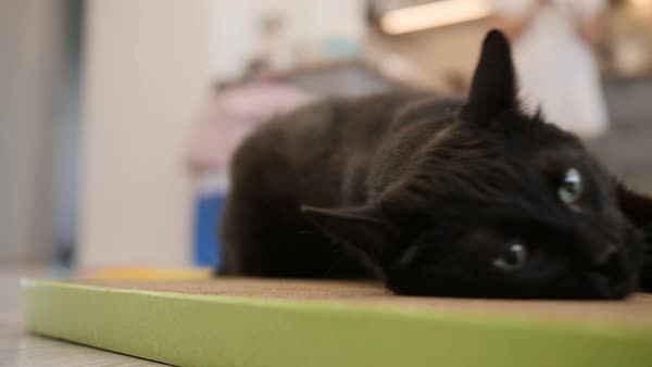 Funny black cat enjoys his new claw grinding toy Cat rolls on paper board
