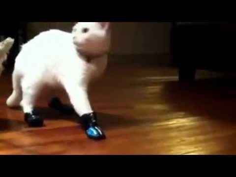 Cat wears shoes and for s how to walk