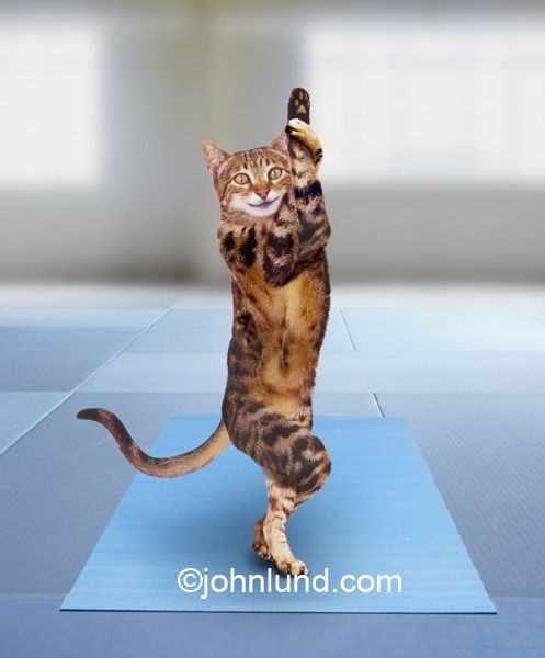 Funny animal stock photo of a cat doing yoga the yoga tree pose on a yoga mat in a spa or resort exemplifying healthy living