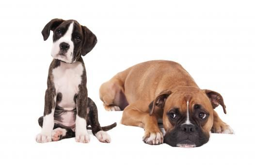 Free Stock of Boxer dogs