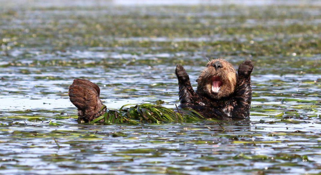 This little sea otter seems to be cheering for joy in this highly mended image Penny Palmer edy Wildlife Awards