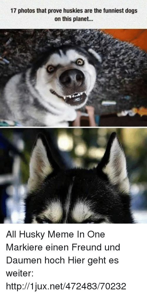 Dogs Meme and Memes 17 photos that prove huskies are the funniest dogs