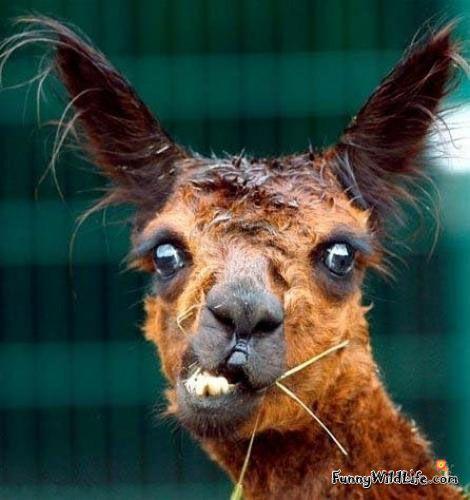 Llama Face Llama Llama Funny Llama Llama Puns