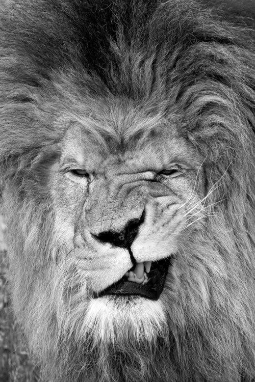 Elvis the Lion