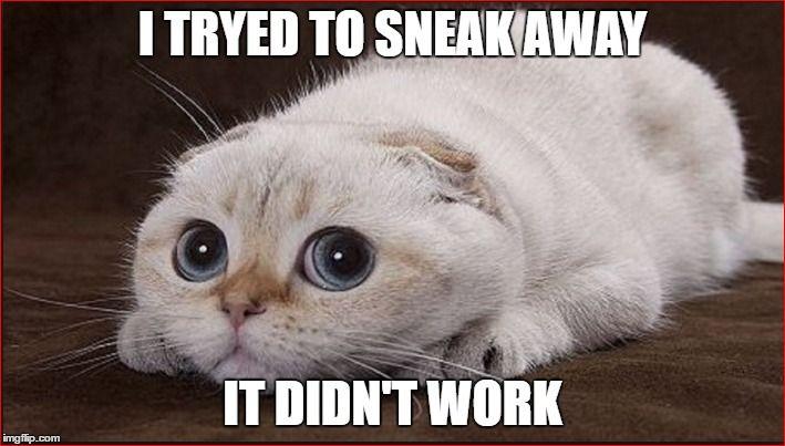 Cat Memes