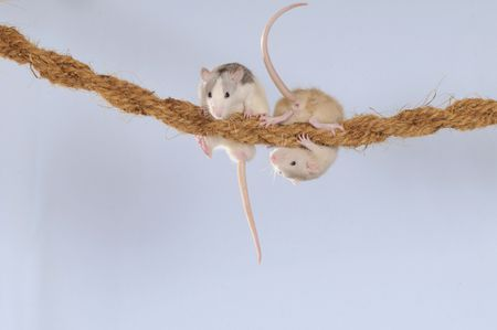 Fancy Rats husky and cream coloured climbing on a rope