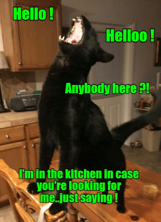 When it s close to dinner time Funny Cats Cute Cats Cute Cat Gif