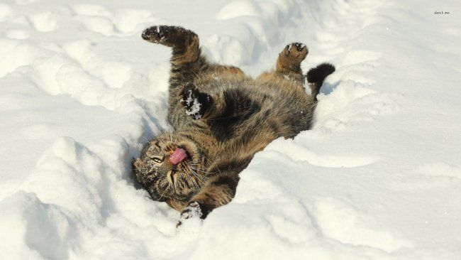 funny cat in the snow animal wallpaper Animals and snow either mix really well