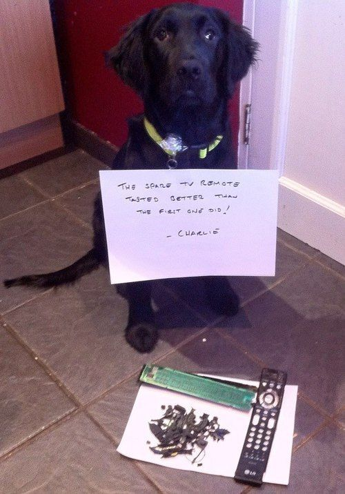 """The spare remote tasted better than the first one did "" dog shaming shame """