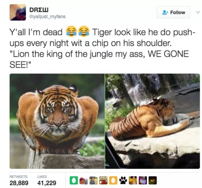 Tweet of super muscular tiger with joking that he must work out so much trying to prove he the king of the jungle