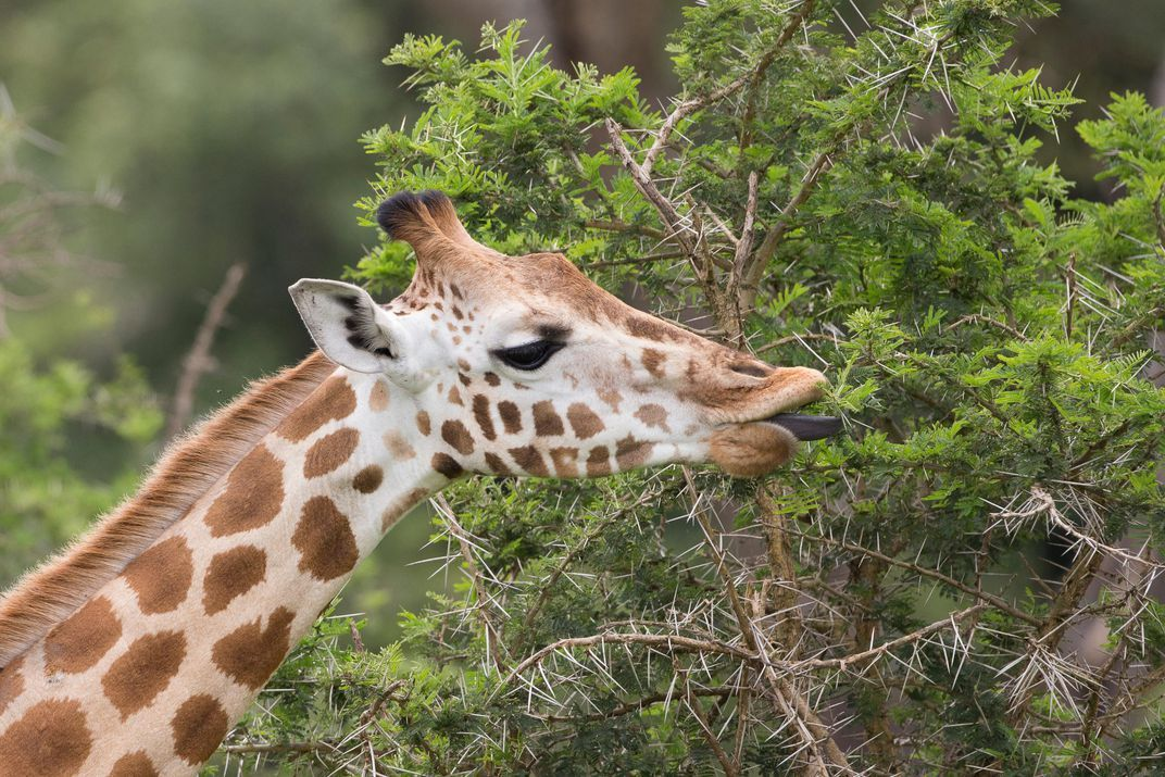 Giraffes long necks allow them to reach the highest leaves of the acacia trees Their rubbery tongues protect them from injury and their thick saliva