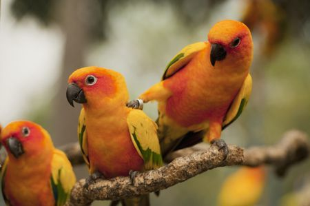 orange parakeets 5b e0fb002c781f12