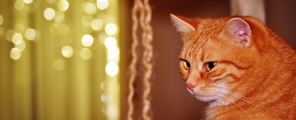 Collect the Wonderful Funny Red Cat Pictures