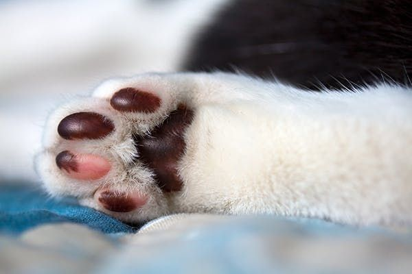 Footpad Injury in Cats