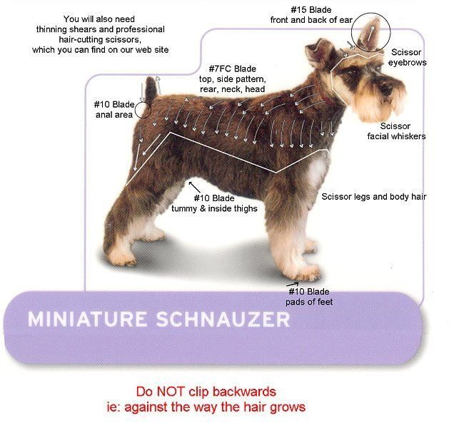 Mini Schnauzer Hair Cut