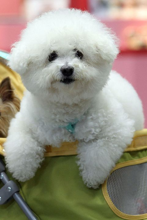 14 Small White Dog Breeds to Add to Your Family ASAP