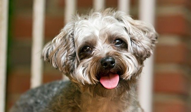 Yorkipoo dog breed