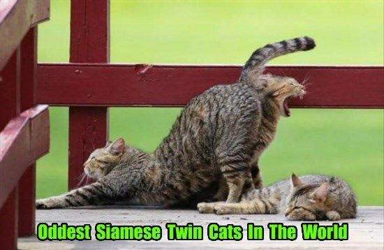butt twins caption Cats siamese