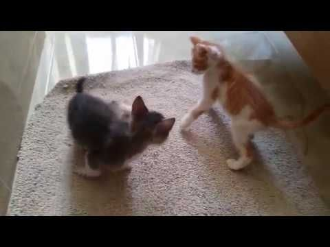 Funny kittens fight cats
